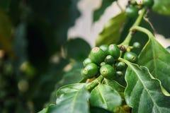 Arabica Coffea φρούτα Στοκ φωτογραφίες με δικαίωμα ελεύθερης χρήσης