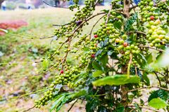 Arabica Coffea φυτεία, φασόλια καφέ που ωριμάζει στη βροχερή DA Στοκ φωτογραφία με δικαίωμα ελεύθερης χρήσης