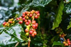 Arabica Coffea φυτεία, φασόλια καφέ που ωριμάζει στη βροχερή DA Στοκ εικόνες με δικαίωμα ελεύθερης χρήσης