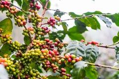 Arabica Coffea φυτεία, φασόλια καφέ που ωριμάζει στη βροχερή DA Στοκ Φωτογραφίες