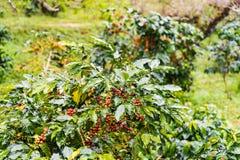 Arabica Coffea φυτεία, φασόλια καφέ που ωριμάζει στη βροχερή DA Στοκ Φωτογραφία