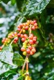 Arabica Coffea φυτεία, φασόλια καφέ που ωριμάζει στη βροχερή DA Στοκ φωτογραφίες με δικαίωμα ελεύθερης χρήσης