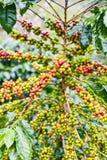 Arabica Coffea φυτεία, φασόλια καφέ που ωριμάζει στη βροχερή DA Στοκ Εικόνα