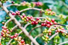 Arabica Coffea φυτεία, φασόλια καφέ που ωριμάζει τη βροχερή ημέρα Στοκ Εικόνα