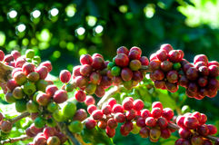 The arabica coffee bean on the coffee tree in the garden Stock Photo