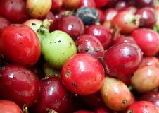 Coffee cherries  in cafe plantation selective focus. It Arabica coffee bean to plant at Tapsasdet, Chaingmai, Thailand. Best coffee growing area in Thailand Royalty Free Stock Photos