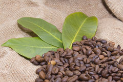 Arabica coffee beans in a burlap bag.  Royalty Free Stock Photography