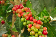 Arabica coffee beans on coffee tree. Red & green Arabica coffee beans on coffee tree Royalty Free Stock Photo
