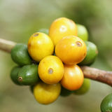 Arabica coffee beans. Color yellow ripening on tree in North of thailand Stock Photos