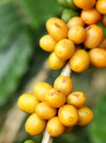 Arabica coffee beans. Color yellow ripening on tree in North of thailand Royalty Free Stock Photo