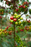 Arabica coffee beans. Green and red arabica coffee beans Royalty Free Stock Images