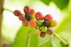Arabica Coffee beans ripening on tree in North of thailand.  Royalty Free Stock Photos