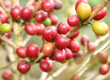 Arabica coffee beans. Ripening on tree in North of thailand Stock Image