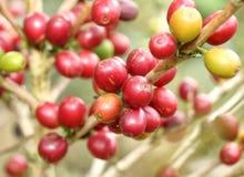 Arabica coffee beans Stock Image