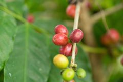 Arabica Coffee beans ripening on tree in North of thailand.  Royalty Free Stock Image