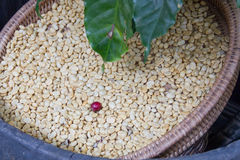 Arabica coffee beans. On shell beans background Royalty Free Stock Photos