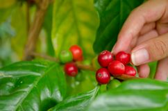 Arabica coffee berries with agriculturist hands. Arabica coffee berries with the hands of a farmer in the garden Stock Image