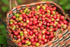 Arabica coffee berries in basket on Bolaven Plateau. Arabica coffee berries in basket in coffee farm on Bolaven Plateau. Pakse. Champasak Province. Laos PDR Royalty Free Stock Image