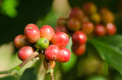 Arabica coffee berries on branch. Ripe arabica coffee berries on branch Stock Photo