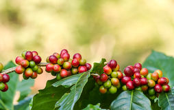 Arabica coffee berries. Getting ripe on its tree in farm Stock Photos