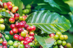 Arabica coffee berries. Getting ripe on its tree in farm Royalty Free Stock Photos