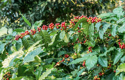 Arabica coffee berries. Getting ripe on its tree in farm Royalty Free Stock Image