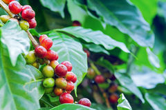 Arabica coffee berries. Getting ripe on its tree in farm Royalty Free Stock Photo