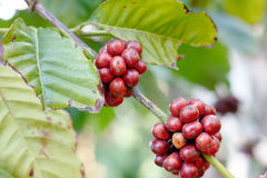 Arabica coffee berries getting ripe. On its tree in farm Stock Image