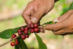 Arabica coffee berries on hands. Arabica coffee berries on farmer hands Royalty Free Stock Images
