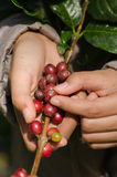 Arabica coffee berries on hands. Arabica coffee berries on farmer hands Royalty Free Stock Photography