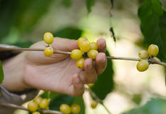 Arabica coffee berries on hands Stock Photos