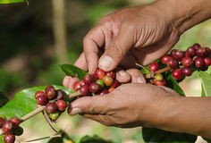 Arabica coffee berries on hands Stock Photography