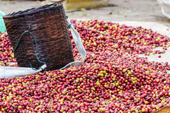 Arabica coffee berries. Pile of red Arabica coffee berries on farm with bamboo basket Royalty Free Stock Photos