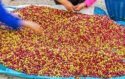 Arabica coffee berries Royalty Free Stock Image