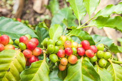 Arabica coffee crop on tree branch. Arabica coffee on tree branch Royalty Free Stock Photography