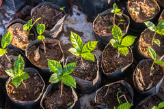 Arabica coffee seedlings Royalty Free Stock Photo