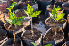 Arabica coffee seedlings Stock Image
