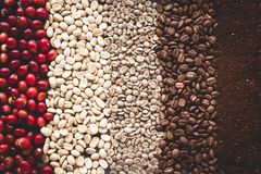 Arabica coffee Steps Coffee Beans Coffee in Asia. Natural light Stock Image