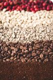 Arabica coffee Steps Coffee Beans Coffee in Asia. Natural light Stock Photography