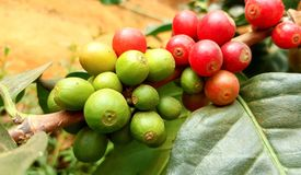Arabica coffee tree with coffee bean in cafe plantation. Coffee beans young and ripening on tree in North of Thailand Stock Photos