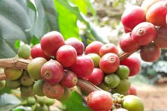 Arabica coffee tree with coffee bean in cafe plantation. Coffee beans young and ripening on tree in North of Thailand Royalty Free Stock Image