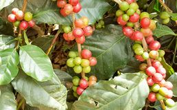 Arabica coffee tree with coffee bean in cafe plantation. Coffee beans young and ripening on tree in North of Thailand Royalty Free Stock Photography