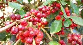 Arabica coffee tree with coffee bean in cafe plantation. Coffee beans young and ripening on tree in North of Thailand Stock Photography
