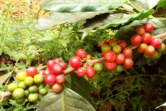 Arabica coffee tree with coffee bean in cafe plantation. Coffee beans young and ripening on tree in North of Thailand Stock Photo