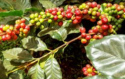 Arabica coffee tree with coffee bean in cafe plantation. Coffee beans young and ripening on tree in North of Thailand Royalty Free Stock Photos