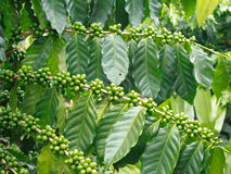 Arabica coffee trees Royalty Free Stock Photo