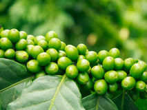 Arabica coffee trees Royalty Free Stock Image
