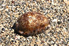 Arabica cowrie, side view. Shell of the Arabica Cowrie (scientific name Cypraea arabica) on moist coarse sand Royalty Free Stock Photo