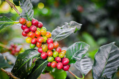 Arabica de Coffea Photos libres de droits