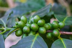 Arabica green immature coffee beans on the tree. Growing up Stock Photography